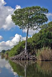 Мангровое дерево – память столетий