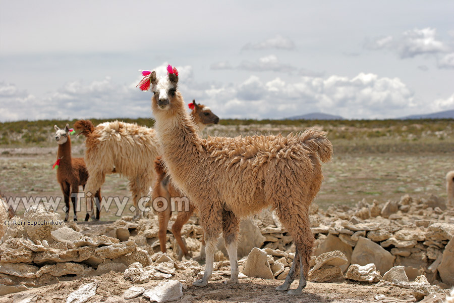 http://www.tiwy.com/pais/bolivia/uyuni/colchani/llamas.jpg