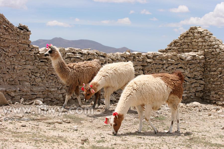 http://www.tiwy.com/pais/bolivia/uyuni/colchani/llamas2.jpg